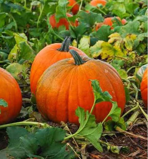 Pumpkin - কুমড়া