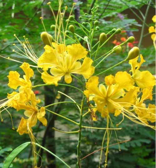 Caesalpinia Yellow - রাধাচূড়া হলুদ