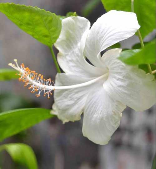 Hibiscus White - জবা সাদা
