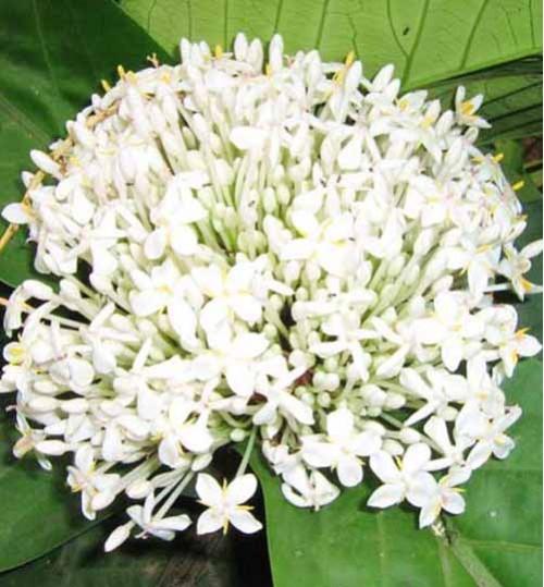 Rongon White - রঙ্গন সাদা