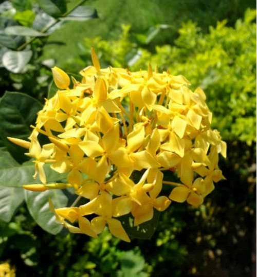 Rongon Yellow - রঙ্গন হলুদ