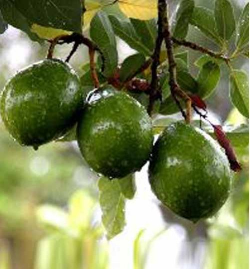 Avocado Trees অ্যাভোকাডো