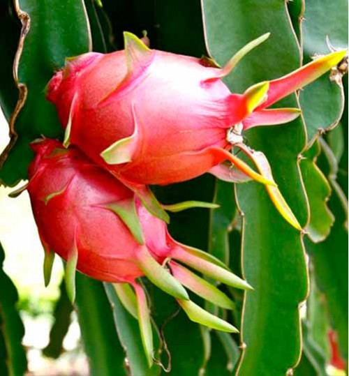 Dragon Fruit - ড্রাগন ফল