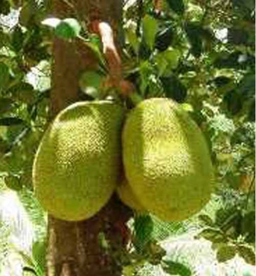 Jack Fruit Trees   কাঁঠাল গাছ