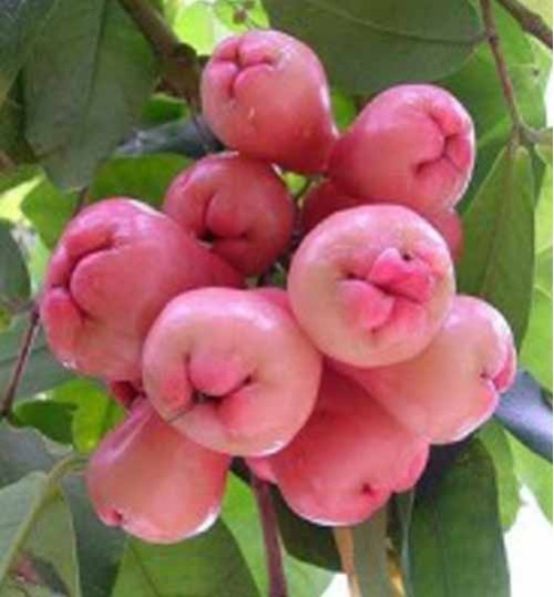 Malay Apple tree - জামরুল