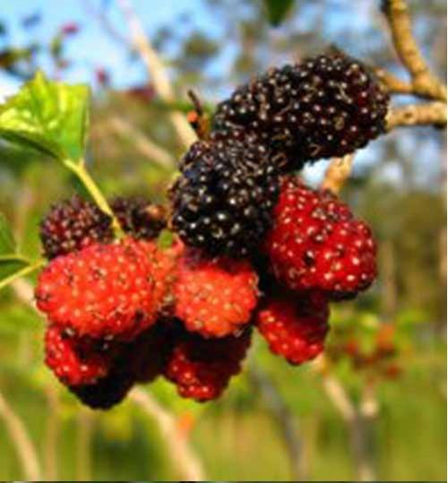 Buy Online Bonsai Tree Seed Gardening Accessories
