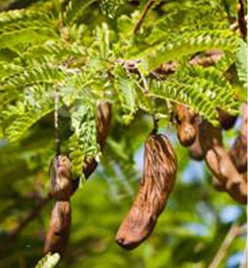 Sweet Tamarind Tree - মিষ্টি তেঁতুল গাছ