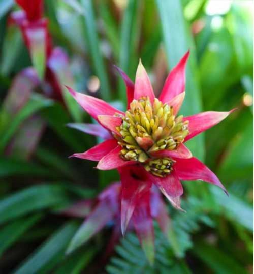 Orchid-Bromeliad অরকিড ব্রোমেলিয়া