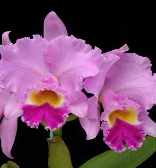 Orchid-Cattleya-Pink অরকিড  ক্যাটেলিয়া গোলাপি (with pot)