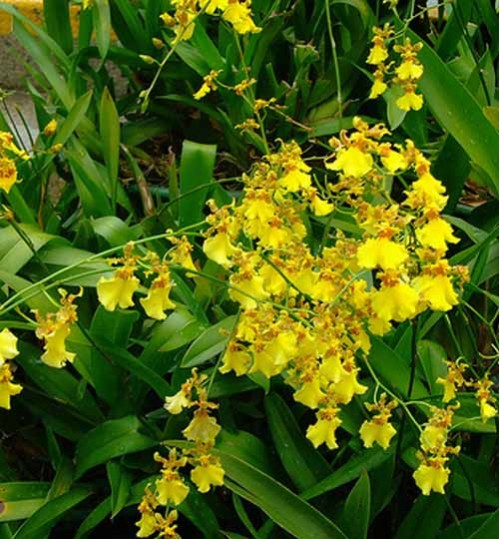 Orchid Dancing Lady Yellow অরকিড ড্যানসিং লেডি হলুদ (with pot)