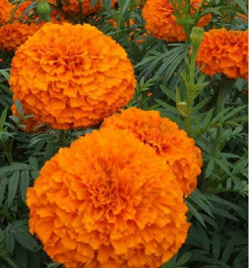 Marigold 3 colour - গাঁদা