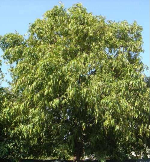 Polyalthia-Pongifolia - দেবদারু