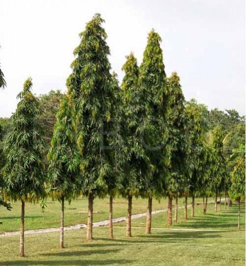 polyalthia-longifolia-var - উইপিং