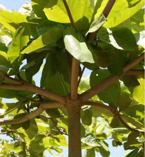 Terminalia-Catappa - কাঠ বাদাম