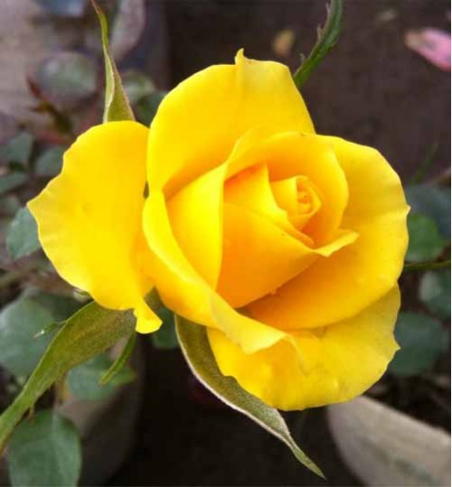 Rose Yellow Big