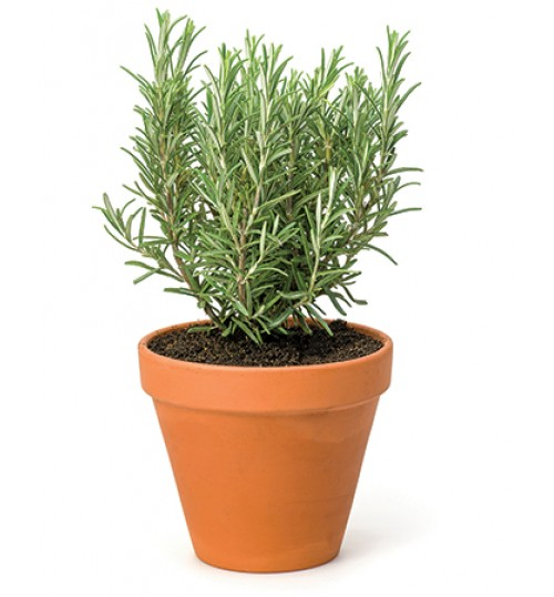Rosemary Herbal Plant (With Pot) Large Size (seed only)