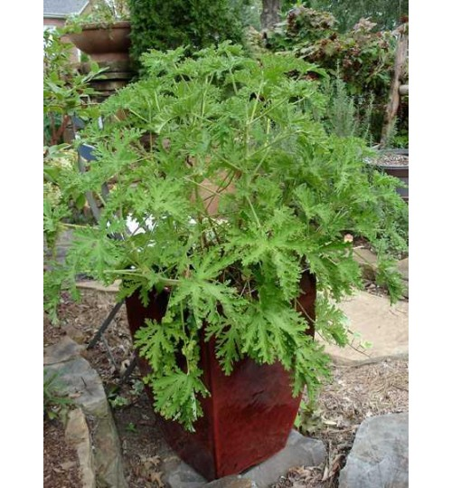 Citronella Anti Mosquito Plant - Out of Stock