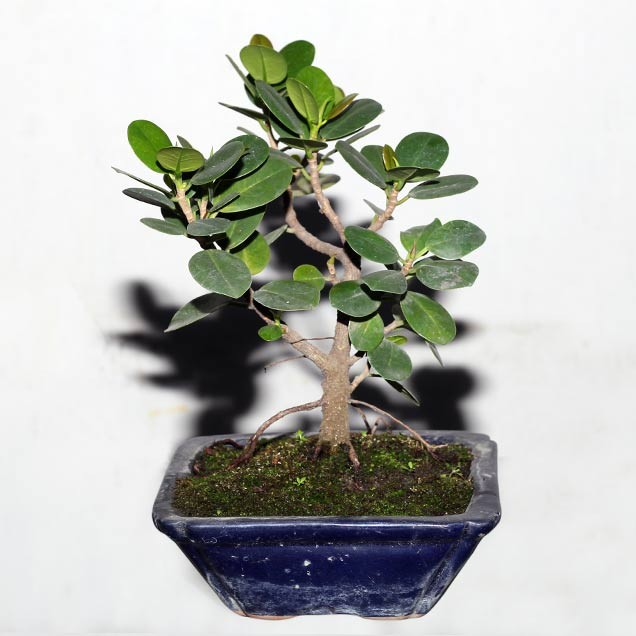 Artificial bonsai tree online india ficus bonsai 2 home for Artificial flowers for home decoration india