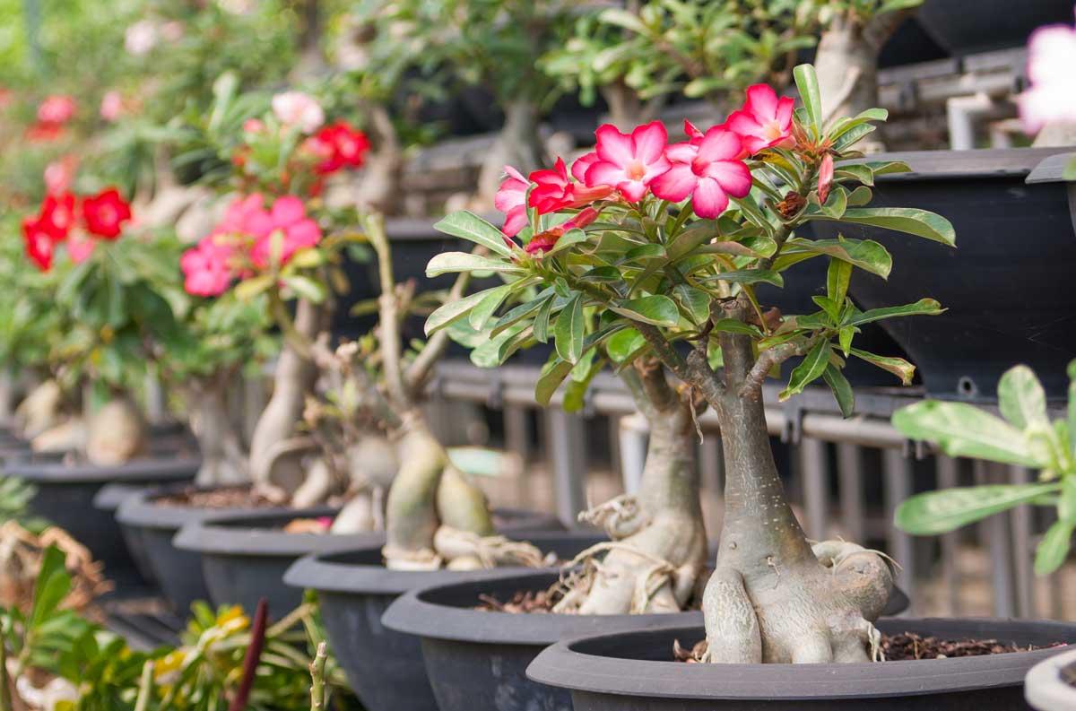 Buy online bonsai tree seed gardening accessories nursery items adenium with flower and pot izmirmasajfo